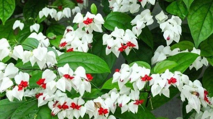 Посадка и уход за цветком Клеродендрум Просперо (Уоллиса)