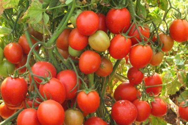 Сорт томата алый мустанг