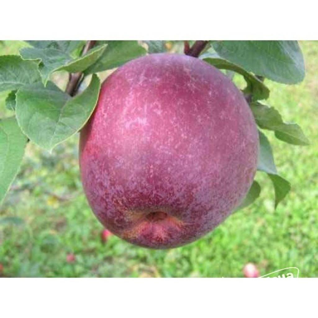 Посадка и уход за яблонями канадского сорта лобо