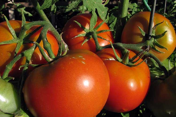 Подкормка помидор во время плодоношения | вырасти сад!