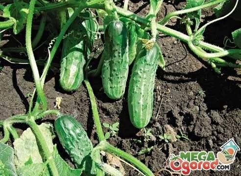 Огурец зятек f1: описание, отзывы, характеристика и урожайность сорта