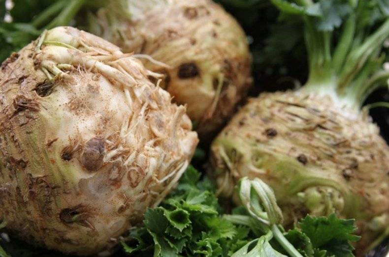 Когда убирать с грядки и как хранить сельдерей: черешковый, корневой и листовой
