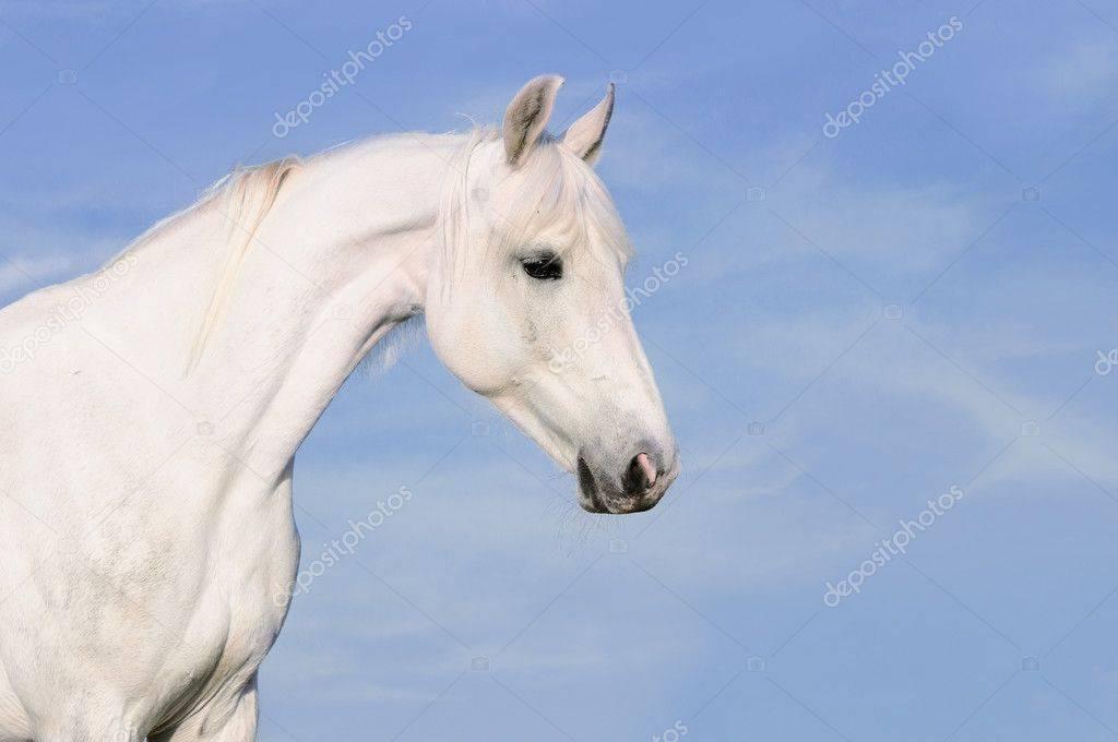 Русский рысак порода лошадей: вид и описание, разновидности, фото