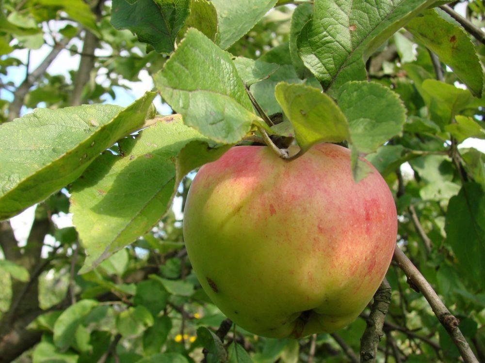 Обыкновенная антоновка: описание десертной и других сортов, лежкость яблок и прочие нюансы
