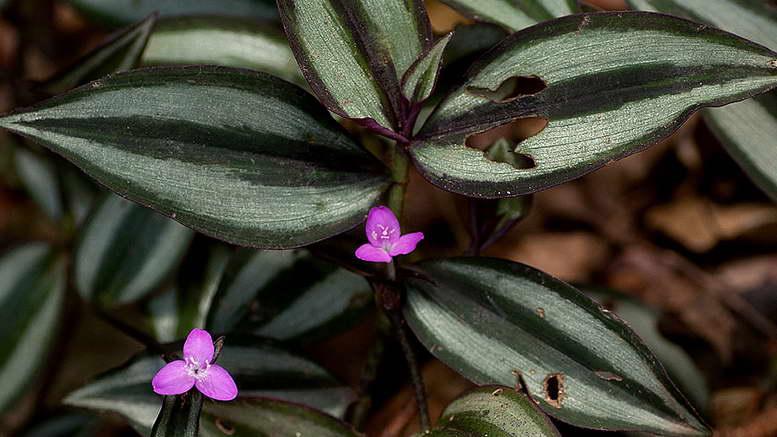 Традесканция Виргинская — прекрасный цветок