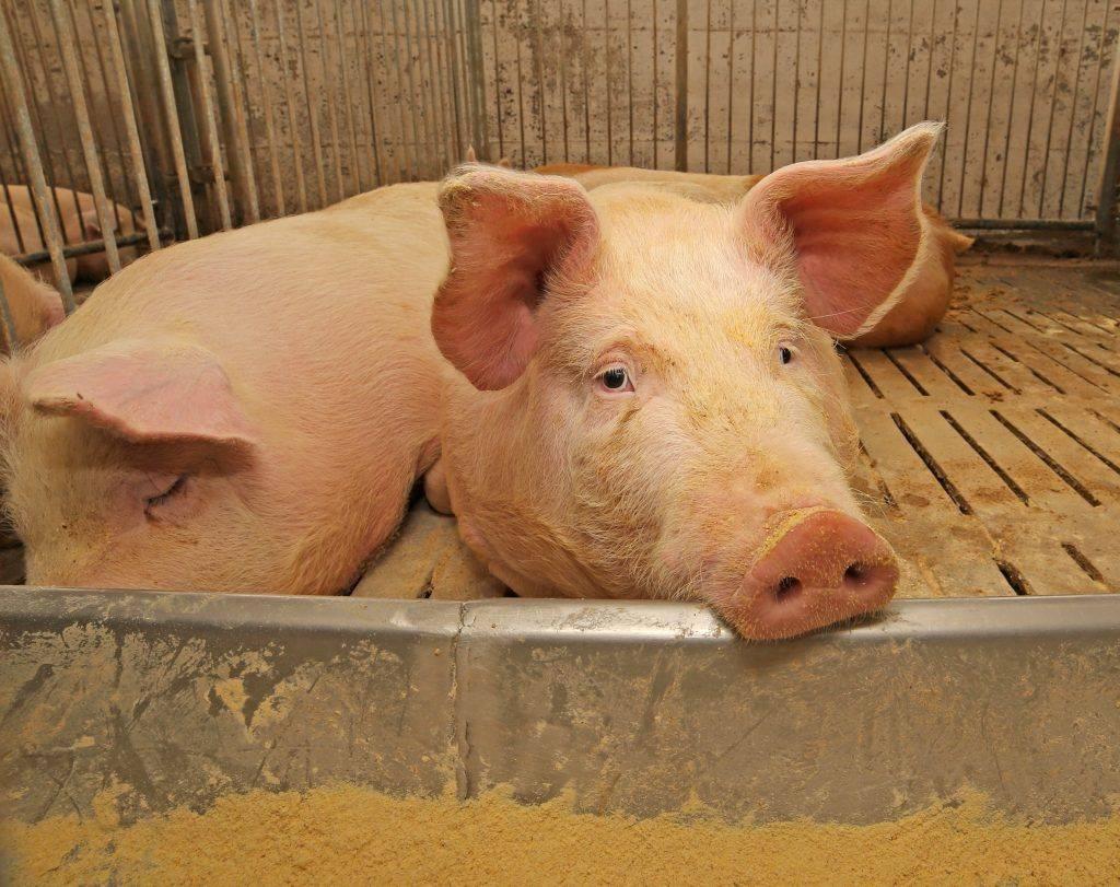 Симптомы и методы лечения трихинеллеза у свиней