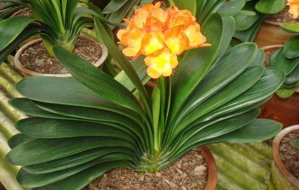 Цветы кливия: фото, уход в домашних условиях за кливией миниата и другими видами