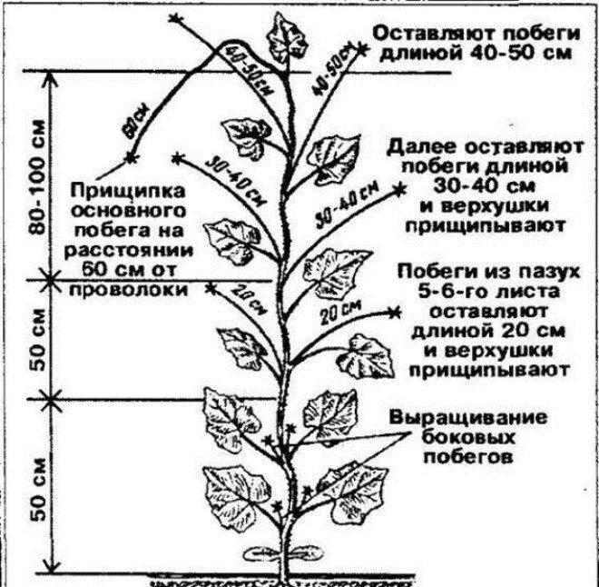 Формирование растений с помощью прищипки, как правильно