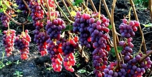 Виноград фиолетовый ранний описание, фото, отзывы