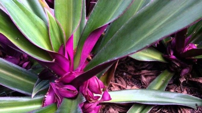 Растение рео - уход в домашних условиях, фото цветка