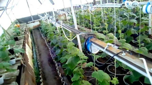 Огурцы зимой: теплица для выращивания огурцов круглый год, технология посадки и ухода в зимней теплице