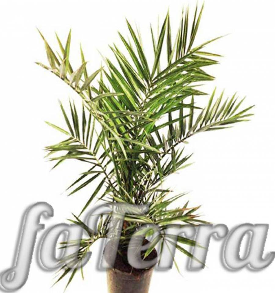 Пальмы финиковые: виды, сорта, как вырастить из косточки в домашних условиях