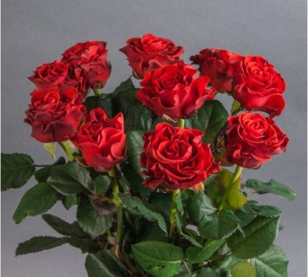 Голландские розы: описание сортов, выращивание и уход - rus-womens