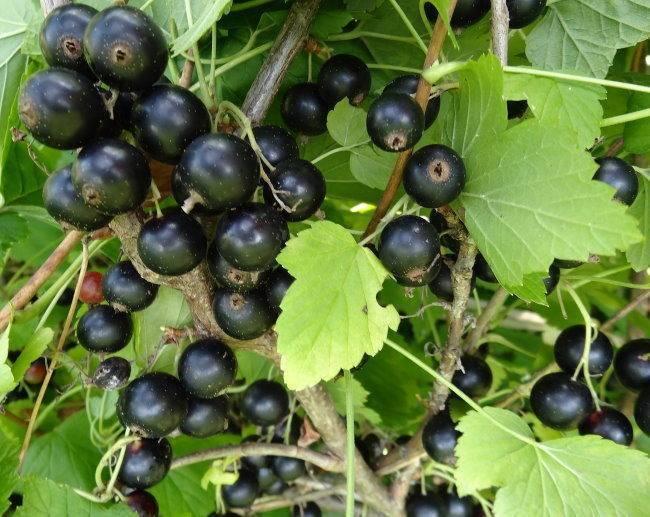 Чем подкормить смородину весной для хорошего урожая фото видео