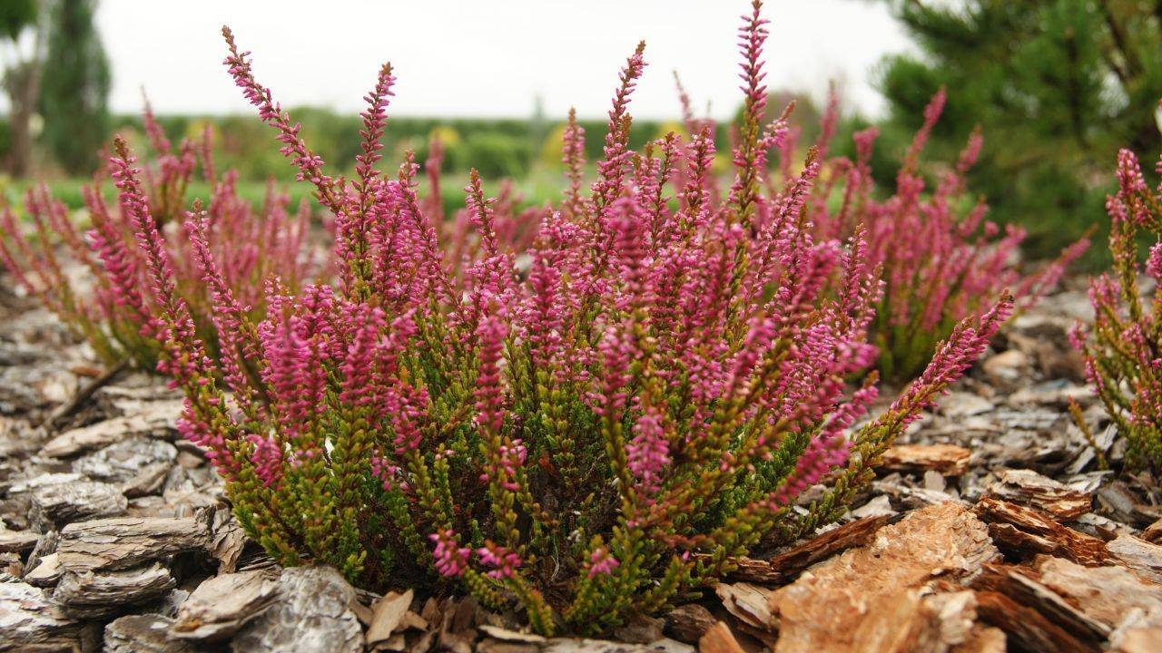 Вереск обыкновенный посадка, уход и фото, размножение и выращивание сорта, удобрения и подкормка