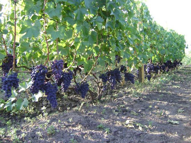 Виноград кодрянка: посадка и уход за сортом