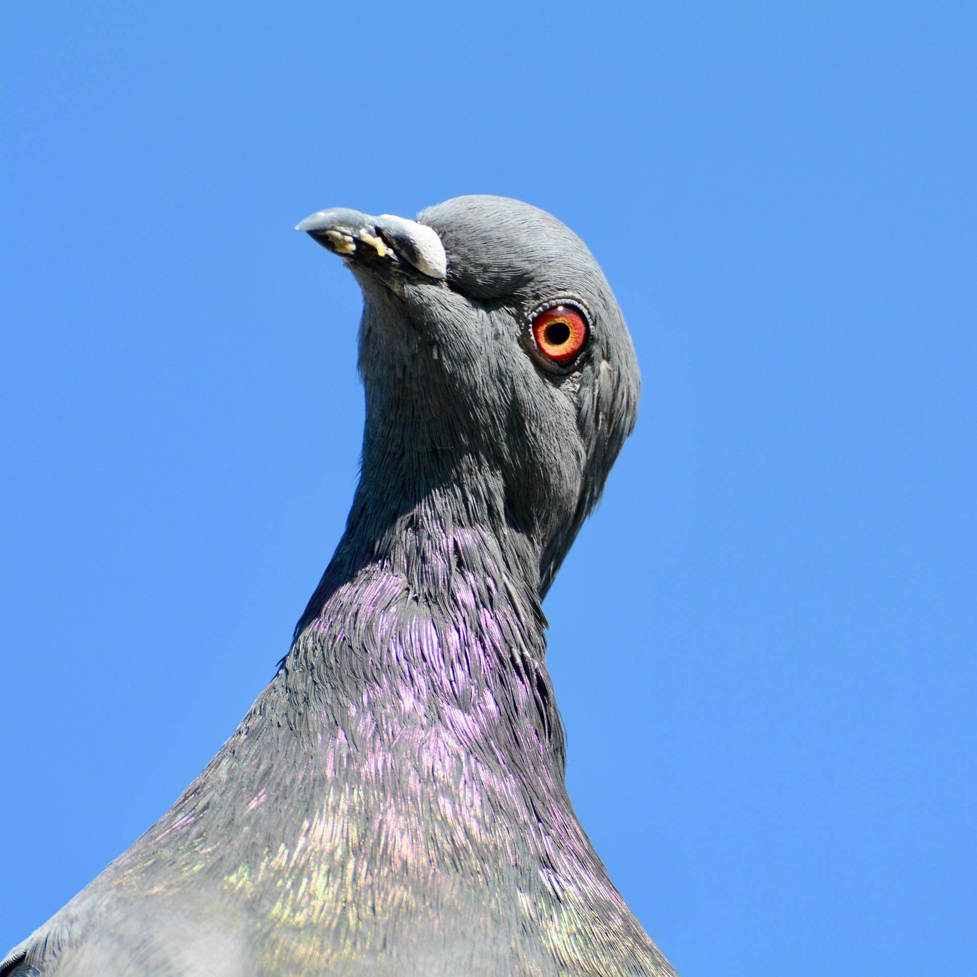 Чем лечить сальмонеллез у голубей, симптомы заболевания