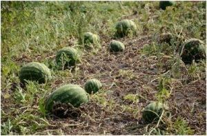 Когда сажать арбузы в открытый грунт семенами – удачные дни 2021 года