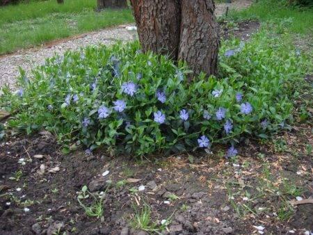 Барвинок: посадка и уход, фото в открытом грунте, выращивание и размножение сорта, сочетание в ландшафтном дизайне