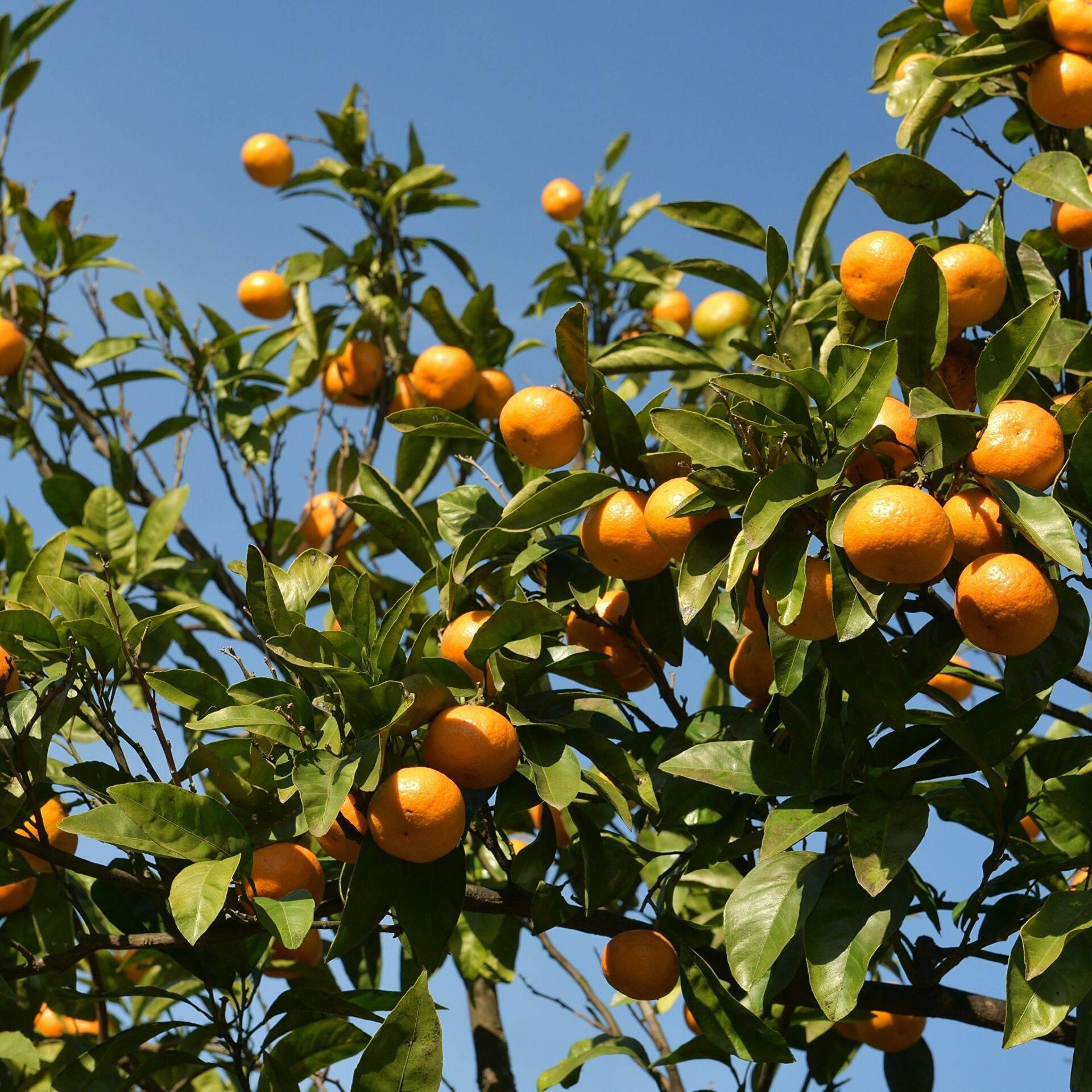 Польза и вред мандаринов для здоровья, энергетическая ценность и правила употребления
