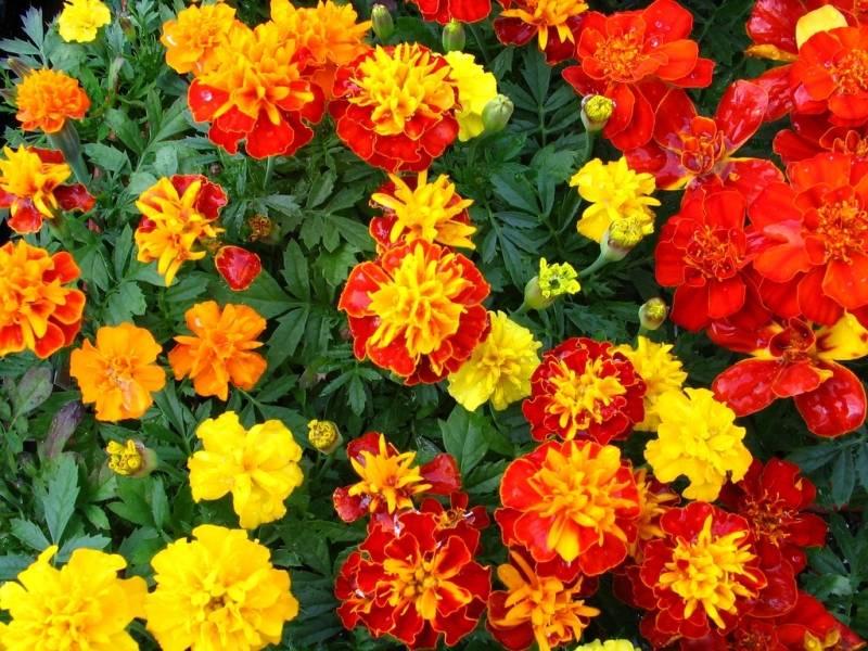 Бархатцы - 73 фото одного из самых ярких растений и украшений сада