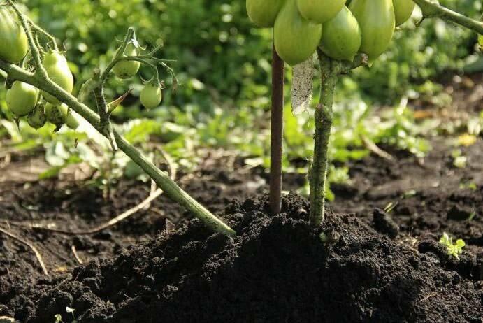Нужно ли окучивать помидоры в открытом грунте: советы огородников