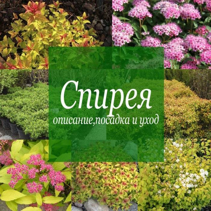 Спирея серая грефшейм: описание и фото растения, советы по посадке, уходу и размножению