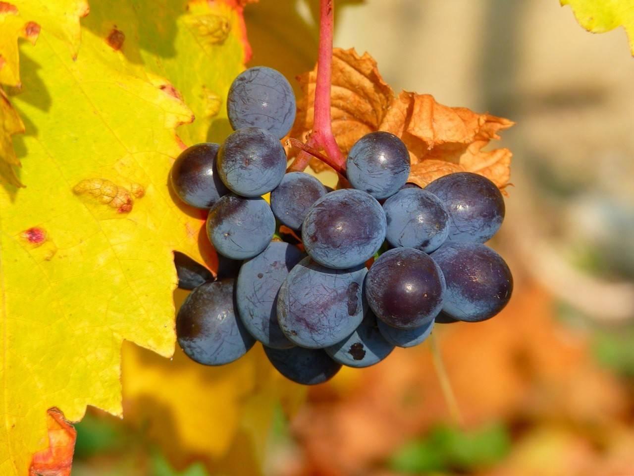 Как правильно укрыть и подготовить виноград к зиме