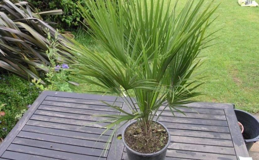 Финиковая пальма из косточки в домашних условиях: как вырастить и ухаживать?