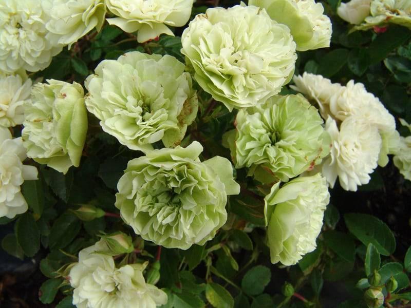 Фиолетовые розы (36 фото): описание роз «сиреневый дождь» и других сортов, названия роз темно-фиолетового цвета, пионовидные розы