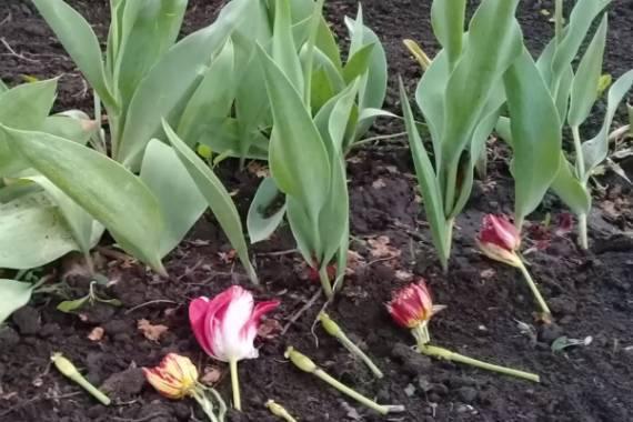 Когда выкапывать тюльпаны после цветения и как их хранить