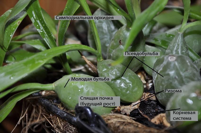 Схема строения орхидеи фаленопсис, основные понятия: псевдобульба, что такое точка роста и другие, а также советы, как разбудить спящую почку