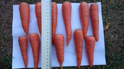 Посадка моркови - лучшие способы и отзывы о них   сайт о саде, даче и комнатных растениях.