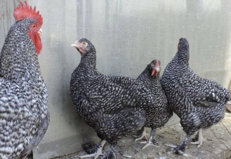Мехеленская кукушка — характеристики и содержание породы кур