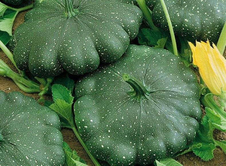 Семена патиссонов лучшие сорта для открытого грунта