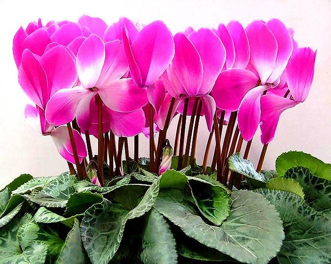 Уникальный цветок цикломения — особенности ухода