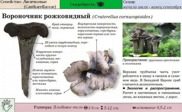 Вороночник рожковидный: 50 фото ? и описание, виды, названия, полезные свойства, как отличить
