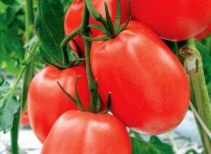 ᐉ томат аделина описание сорта фото отзывы - zooshop-76.ru