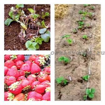 Как подготовить клубнику и землянику к зиме на грядке осенью?