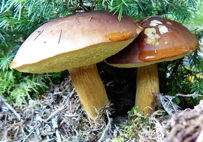 Польский гриб (моховик каштановый): фото и описание деликатеса