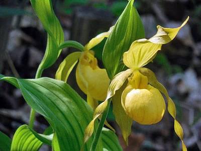 Рассказываем о том, как выглядят лесные орхидеи