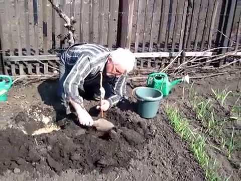 Посадка малины весной: советы начинающим | теплотехники