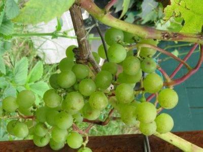 Виноград минский розовый: описание сорта, фото и отзывы садоводов