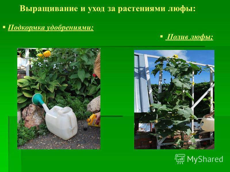 Выращивание люфы из семян и уход за растением