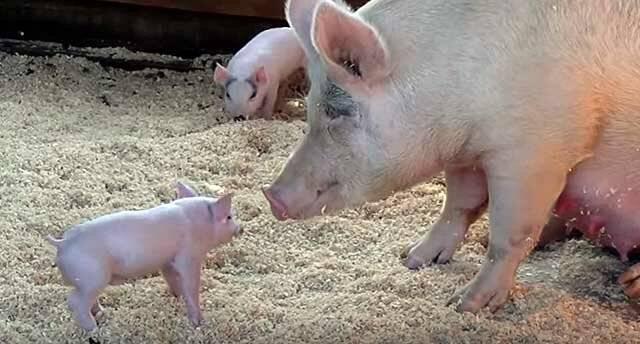 Дизентерия свиней: возбудитель и симптомы, методы лечения и профилактика