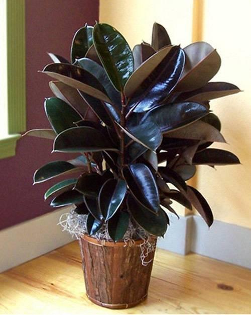 Фикус эластик каучуковый (elastica): описание сортов дерева elastica, как цветет, как ухаживать и выращивать каучуконосный цветок в домашних условиях