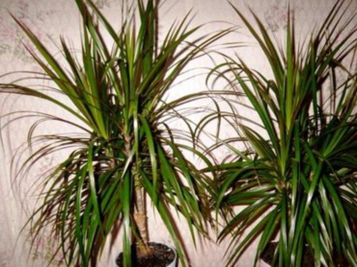 Названия видов драцены (41 фото): разновидности комнатного дерева годсефа и суркулоза, «малайка» и массанжеана, дракон и другие