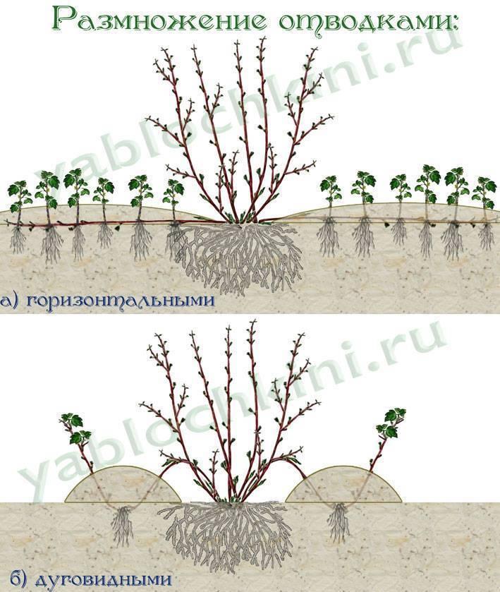 Как размножать крыжовник и смородину черенками