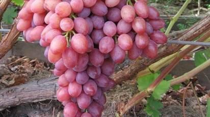 Кишмиш лучистый — лучший розовый сорт из всех кишмишей