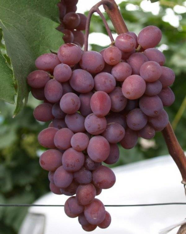 ᐉ кишмиш мускатный - сорт винограда - roza-zanoza.ru